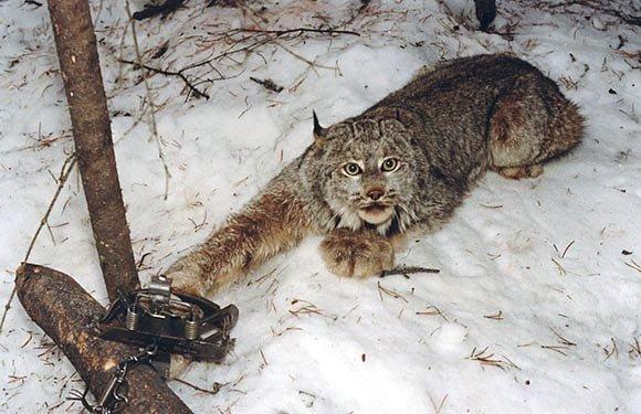 как ловить зверей в лесу
