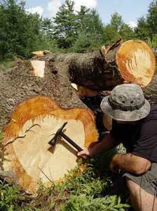 edible-pine-bark