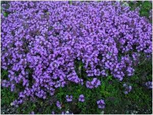 Чабрец - богородская трава