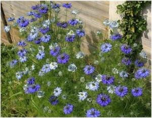 Нигелла альбина выращивание из семян 21