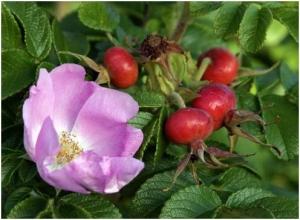 Нужно цветки шиповника (4 столовые ложки) залить кипятком (350 мл), затем настоять 30 мин, процедить...