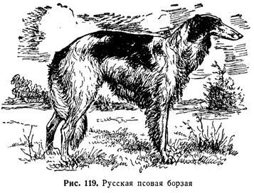 Борзые собаки