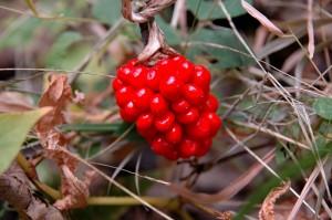 Как не отравиться грибами и ягодами