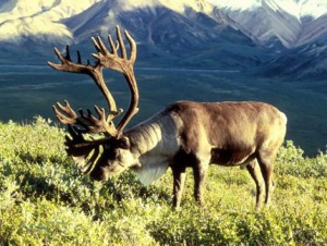 Олень - Выживание в дикой природе и экстремальных ситуациях