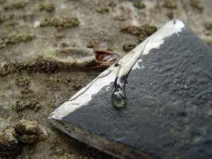 Лечебные свойства смолы бальзамической пихты