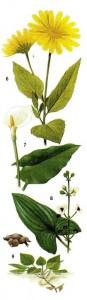 Съедобные корни и клубни растений