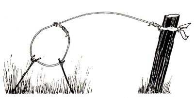 Проволочную ловушку можно установить на поддерживающих ее прутиках, которые также могут быть использованы для того, чтобы петля оставалась открытой, в «ждущем режиме».