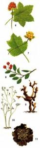Арктические и северные растения
