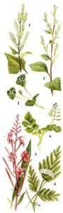 съедобные растения в лесу