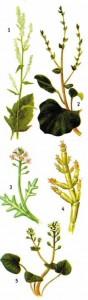 Растения морских побережий
