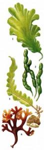 Съедобные водоросли