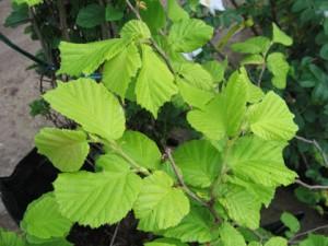 Лещина обыкновенная, или Орешник, Лесной орех