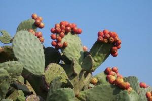 Опунция (Opuntia)