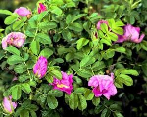 Шиповник, или дикая роза