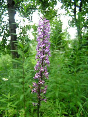Род ORCHIS L. ЯТРЫШНИК.