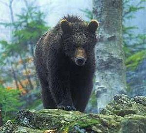 Бурый медведь. Питание корнями растений
