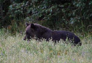 Бурый медведь. Питание овсом