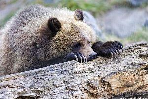 Бурый медведь. Питание ягодами