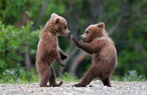 Формирование поведения молодых бурых медведей