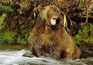 Изучение бурого медведя
