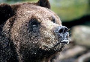 Охота бурого медведя. Домашние животные и дикие копытные