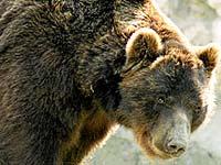 Пищевое поведение бурого медведя