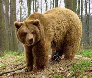 Питание бурого медведя. Добывание мышей