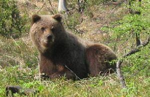 Питание бурого медведя. Добывание ос