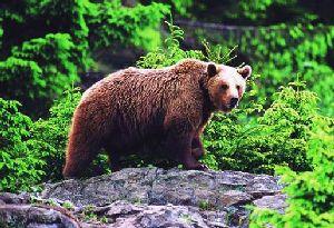 Питание бурого медведя. Охота на птиц