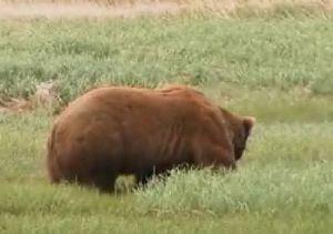 Питание бурых медведей. Весенне-летний период