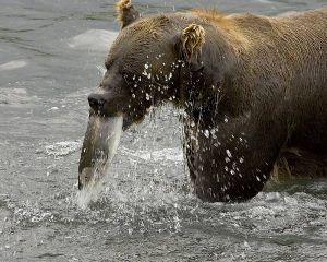 Питание бурых медведей. Весенний период