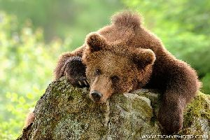 Распределение бурых медведей по местности