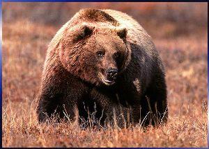 Социальное поведение бурого медведя
