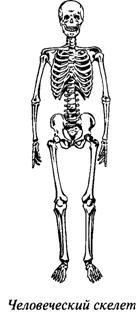 Опорно-двигательный аппарат. Скелет