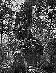В Уссурийских джунглях