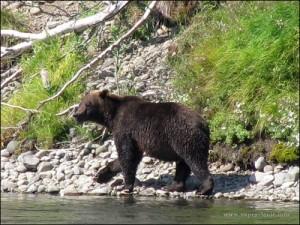Если встретил медведя. Часть 1