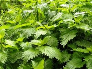 Съедобные дикорастущие растения в природе