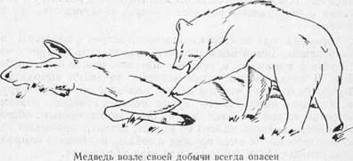 Поведение медведя перед нападением
