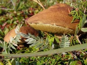 какие грибы растут под осиной фото