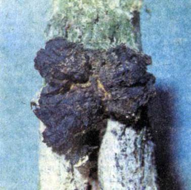 Березовый гриб, чага