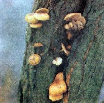 Опенок зимний, зимний гриб