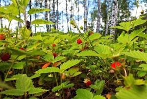 Когда созревают лесные ягоды