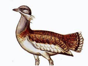 Дудак – интересная птица
