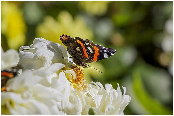 Летние краски среди зимы : Дневные Бабочки. Часть №1 : Нимфалиды и Парусники