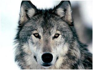 Охотники Тувы уничтожили рекордное число волков