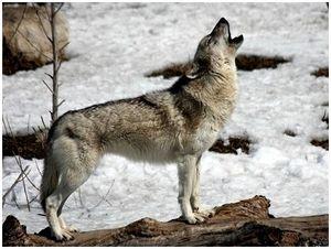 С волками жить - по волчьи выть