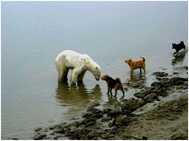 Белый медведь, первые впечатления