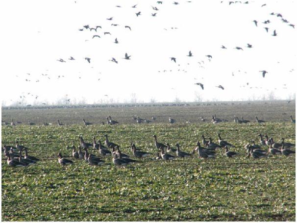 Две охоты на гусей