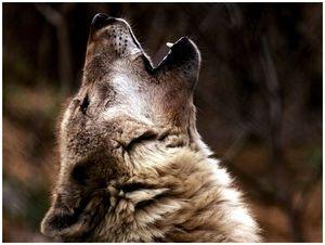 Еще раз о волках