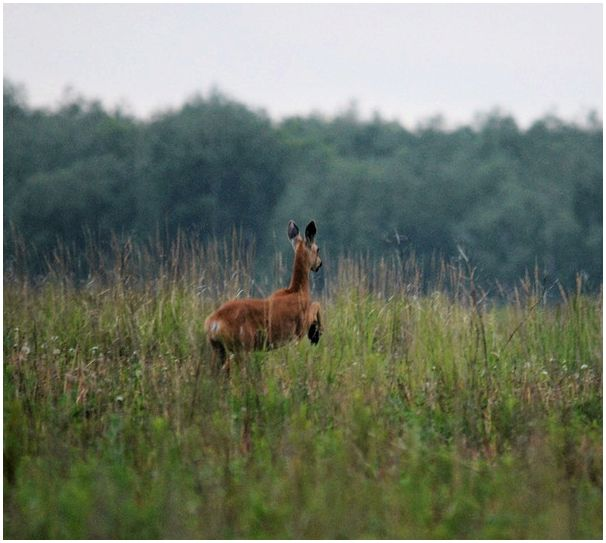 Фото охота на сибирскую косулю